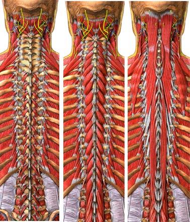Questa figura rappresenta solo i primi tre strati profondi della muscolatura che compone il sistema di supporto e ammortizzazione  della colonna vertebrale. Da ricordare che i muscoli piu' piccoli sono quelli che per primi subiscono fenomeni degenerativi.